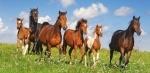 Пазлы Castorland Paso Fino Herd 4000 элементов