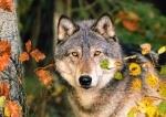 Castorland: Пазлы 500 элементов Волк