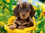 """Пазлы """"Собачка в желтой корзинке"""""""