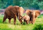 """Касторленд пазлы 500 """"Семья слоно"""""""
