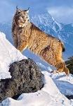 """Пазлы 1000 """"Рысь в горах"""""""