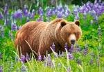 """Пазлы Castorland 500 элементов """"Медведь на лугу"""""""