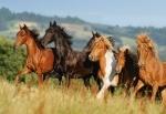 Castorland: Пазлы 1000 элементов Лошади