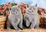 Castorland: пазл котята 120 эл.